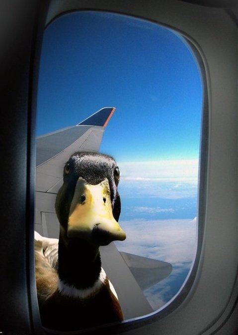 Anatidaephobia - Fear of ducks